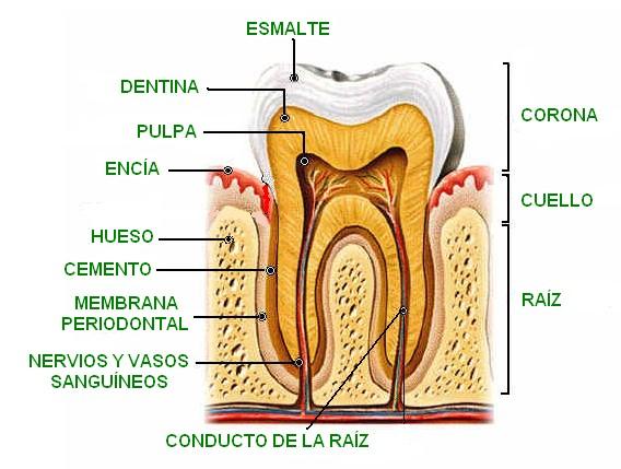 anatomia_de_un_diente
